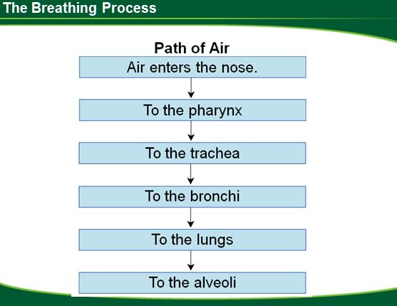 the breathing process Mechanics of ventilation pulmonary ventilation is commonly referred to as breathing it is the process of air flowing into the lungs during inspiration.